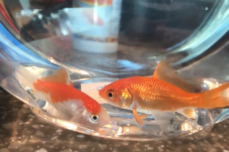 Goldfish gift