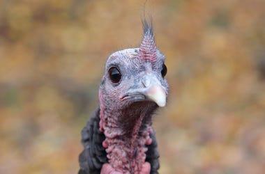 turkey image
