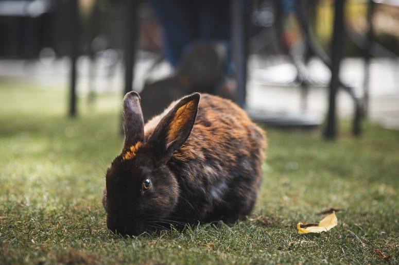 Bunny in Langley, WA