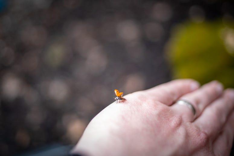 Ladybug(s)