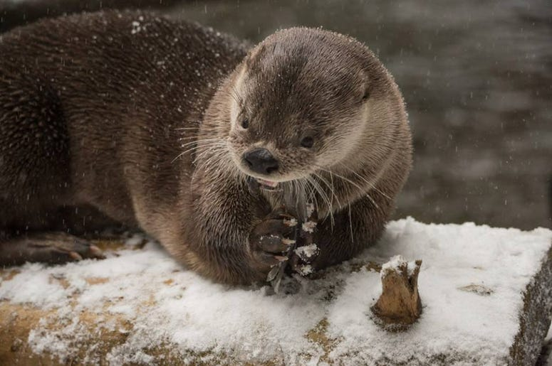 Oregon Zoo Otter in the Snow