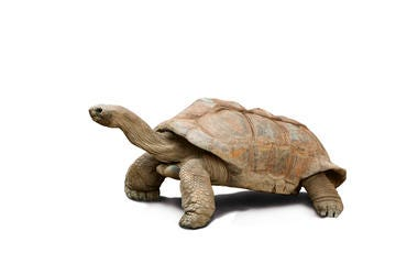 This isn't Diego the Giant Tortoise, but they're almost certainly related...