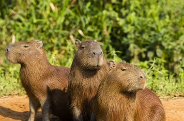 Trio of capybaras