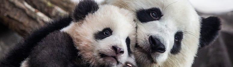 pandas, coronavirus