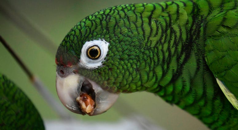 In this Nov. 6, 2018 photo, a Puerto Rican parrot eats inside one of the flight cages in the Iguaca Aviary at El Yunque, Puerto Rico. (AP Photo/Carlos Giusti)