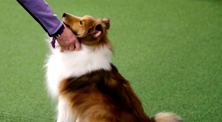 FILE - This Saturday, Feb. 9, 2019 file photo shows a Shetland sheepdog at the Westminster Kennel Club Dog Show in New York. (AP Photo/Wong Maye-E)