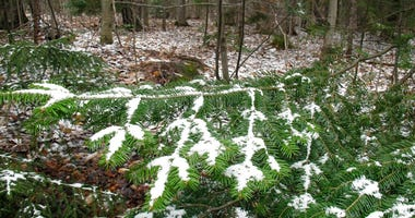 A dusting of snow covers tree branches in Stowe, Vt., on Tuesday May 5, 2020. The National Weather Service predicted snow or rain showers Tuesday morning in parts of New Hampshire, Vermont and Maine.