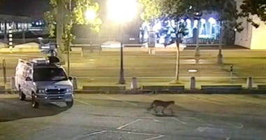 In this image from surveillance camera video provided by KGO-TV/ABC7, a young mountain lion wanders through the station's parking lot in San Francisco Tuesday, June 16, 2020.