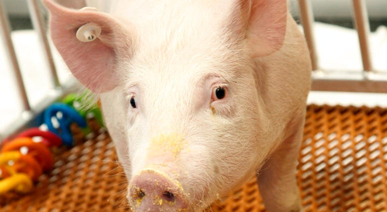 This undated photo provided by Revivicor, Inc., a unit of United Therapeutics, shows a genetically modified pig.