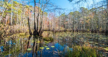 Coastal Swamp Pond with Lily pads in Virginia States Park System with reflection of sunny blue sky