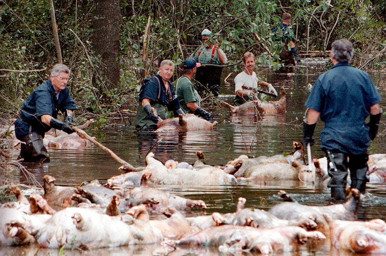 FILE - In this Sept. 24, 1999, file photo, employees of Murphy Family Farms along with friends and neighbors, float a group of dead pigs down a flooded road on Rabon Maready's farm near Beulaville, N.C. The hogs drowned from the floodwaters of the NE Cape