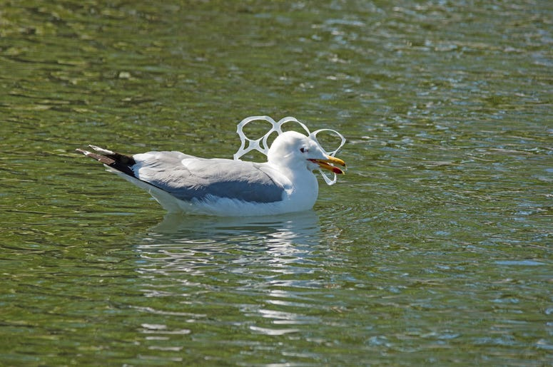 Gull with plastic ring