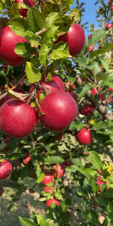 pickin apples 3