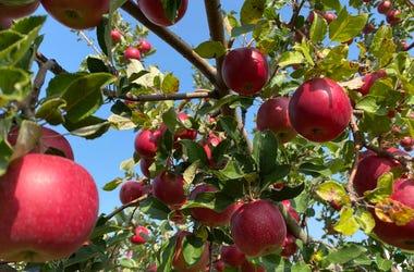 pickin apples 4