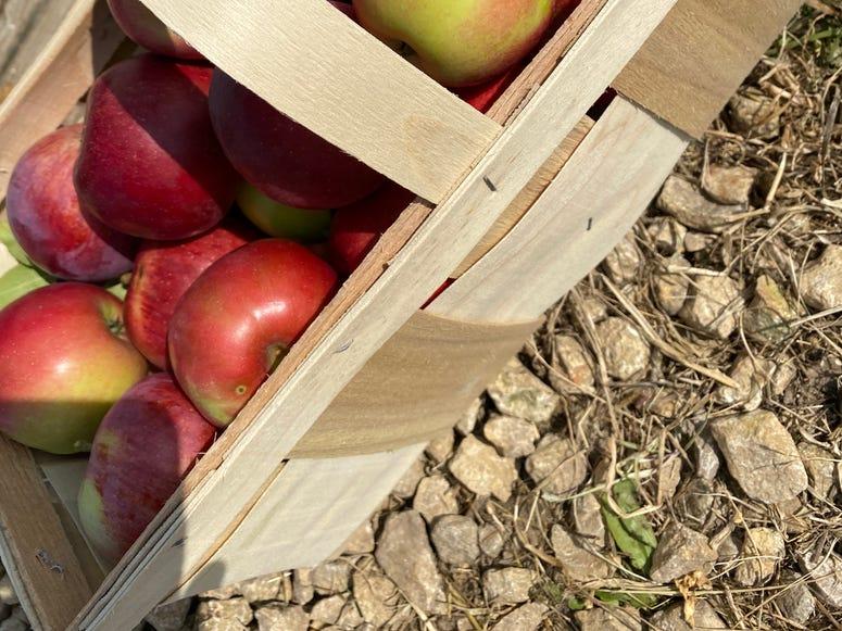 pickin apples 1