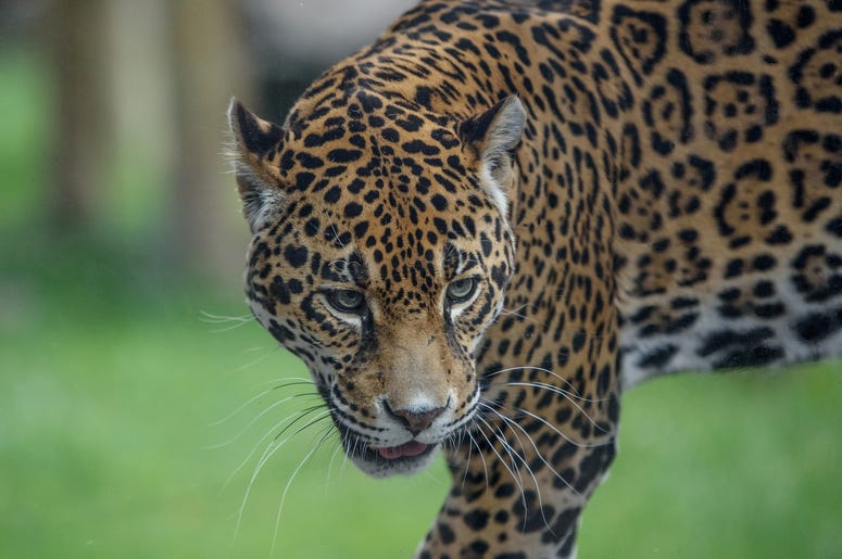 Stella the jaguar at the Milw County Zoo