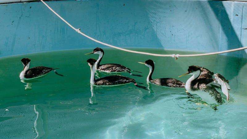Oiled Wildlife Care Network/UC Davis School of Veterinary Medicine