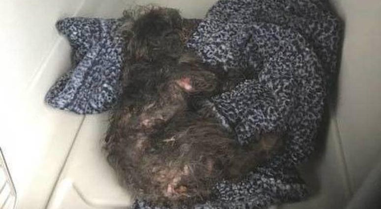 Bear the poodle, dog thrown from car in New Jersey
