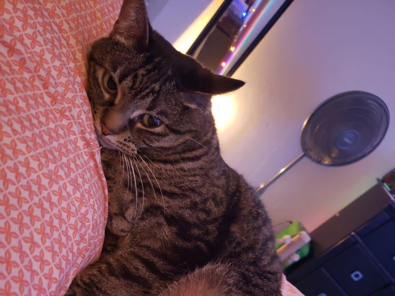 Devin Cat Furbaby Meet Nova