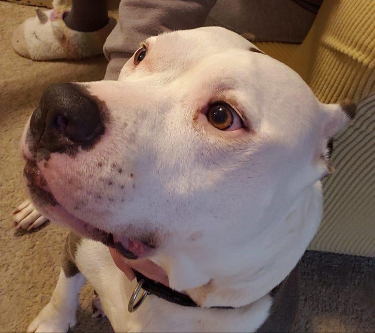 Rocco dog pitbull