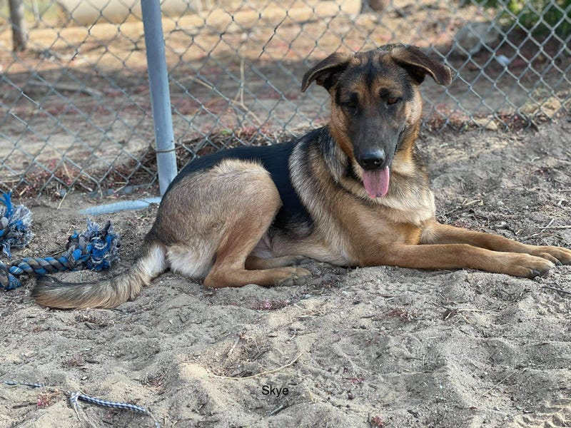 Skye, a one year old large mixed breed dog up for adoption through ARE Animal Rescue in Hemet