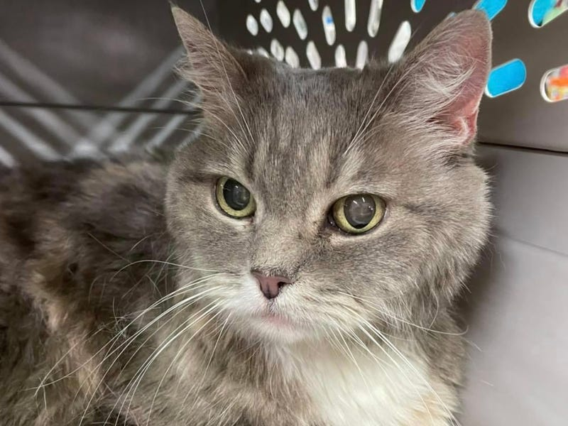 Cali, a 17 year old senior cat up for adoption through ARE Animal Rescue in Hemet