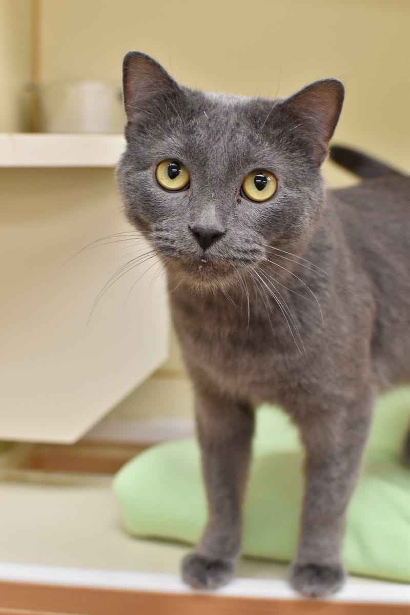 Bach, a two-year-old Domestic Shorthair who loves to be around his humans and to have daily play sessions with them