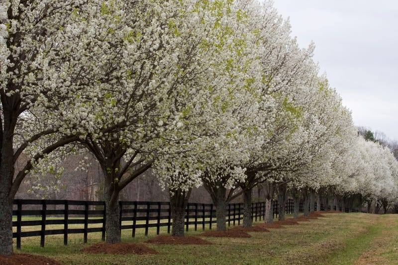 Bradford Pear Trees
