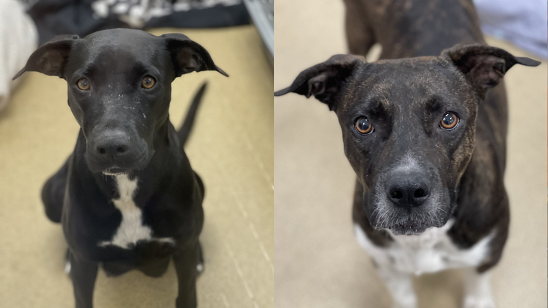Chiquita and Halle - dogs up for adoption