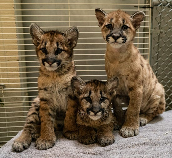 Captain Cal and his unnamed adopted sisters pose together. Officials at the Columbus Zoo and Aquarium will name the sisters upon their arrival.