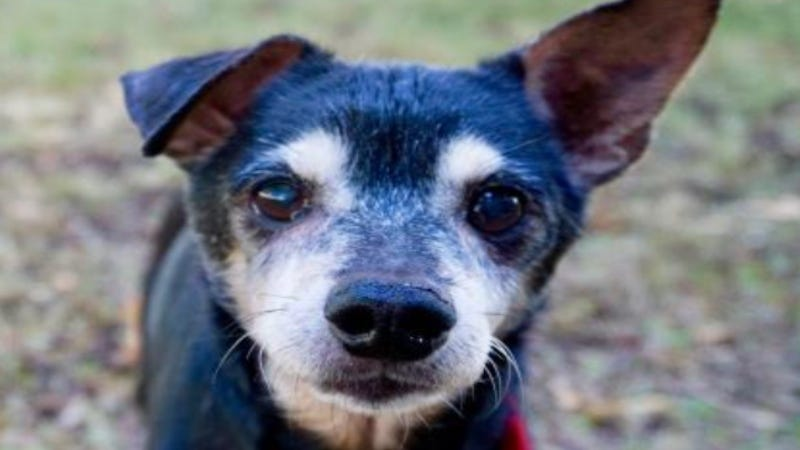 Chico @ Austin Humane Society September 2021