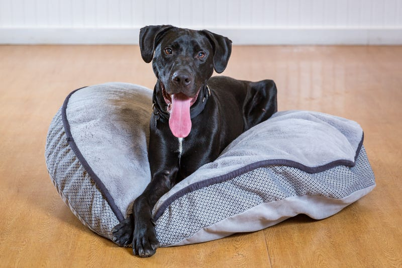 Ditto, a one-year-old Hound mix who is looking for a home with a yard where this athletic pup can run and play. He is smart and eager to please his favorite people
