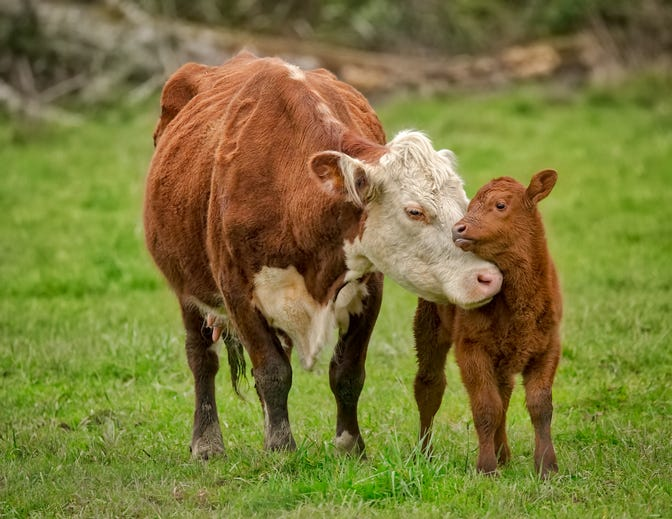 A cow and her baby