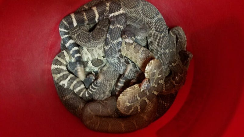 92 rattlesnakes were found under a Santa Rosa woman's home.