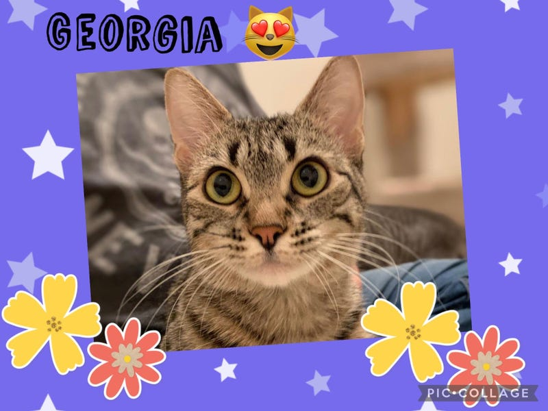 Georgia, a one and a half year old cat up for adoption through ARE Animal Rescue in Hemet