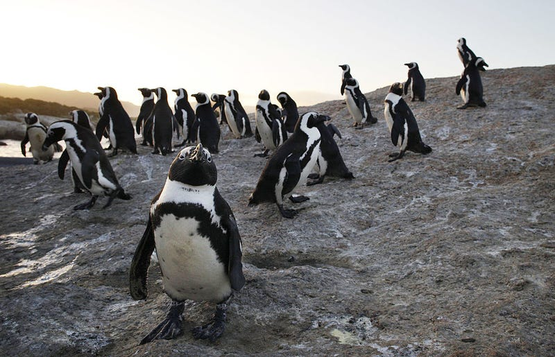 African penguins gather at Boulders Beach in Simon's Town, South Africa.