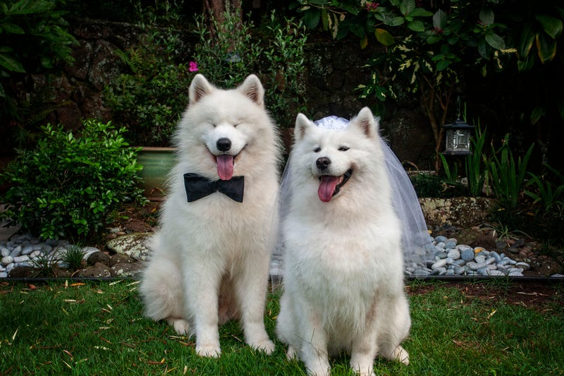 Puppy love is really evident in this couple! You can see it in his eyes! Xiu Xiu's white veil and Tin Tin's bow tie are seen here bringing this doggy couple a touch of elegance.