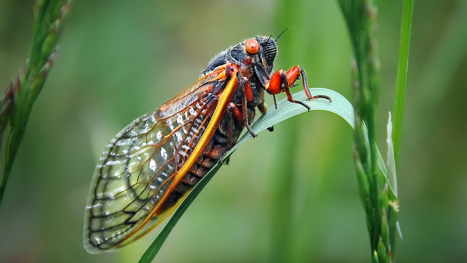 Cicadas are beginning to emerge as the latest creepy new food trend