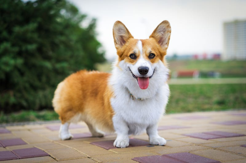 Adorable Corgis Are Taking Over the World