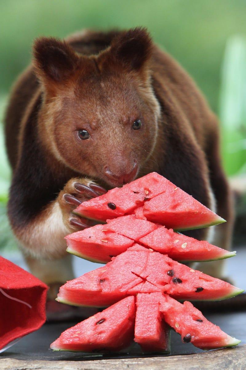 animals eats christmas shaped watermelon
