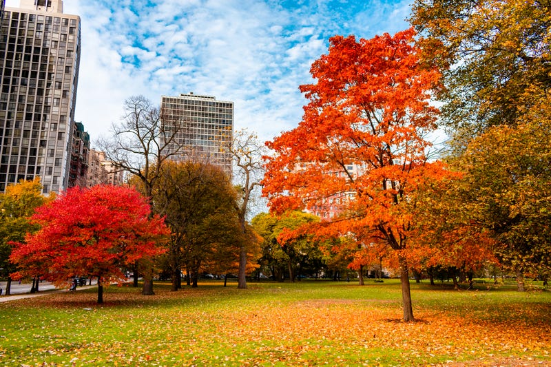 Extreme weather patterns contribute to Chicago's distressed maple tree population