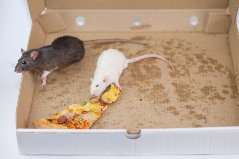 pizza mouse decorative in a pizza box.. rat