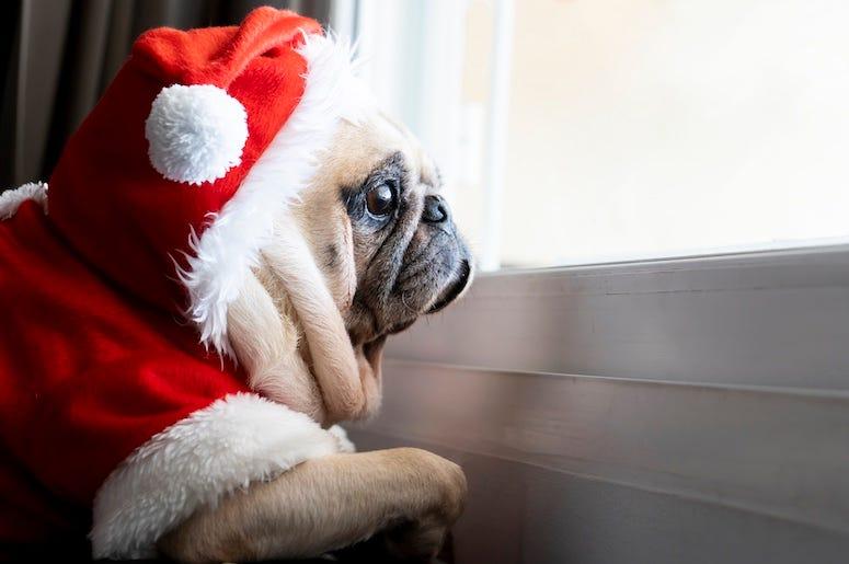 Pug in santa hat