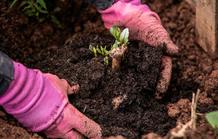 Planting out sprouting dahlia tuber with shoots in spring flower garden.