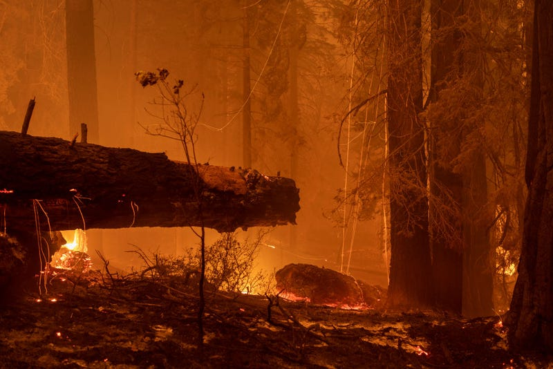 The Windy Fire blazes through the Long Meadow Grove of giant sequoia trees near The Trail of 100 Giants overnight in Sequoia National Forest on Sept. 21, 2021, near California Hot Springs, California. As climate change and years of drought push wildfires to become bigger and hotter, many of the world's biggest and oldest trees, the ancient sequoias, have been killed. The giant trees are among the world's biggest and live to more than 3,000 years, surviving hundreds of wildfires throughout their lifespans. The heat of normal wildfire of the past helped the trees reproduce but increasing fire intensity can now kill them. A single wildfire, the Castle fire, destroyed as much as 14 percent of all the world's giant sequoias in 2020.