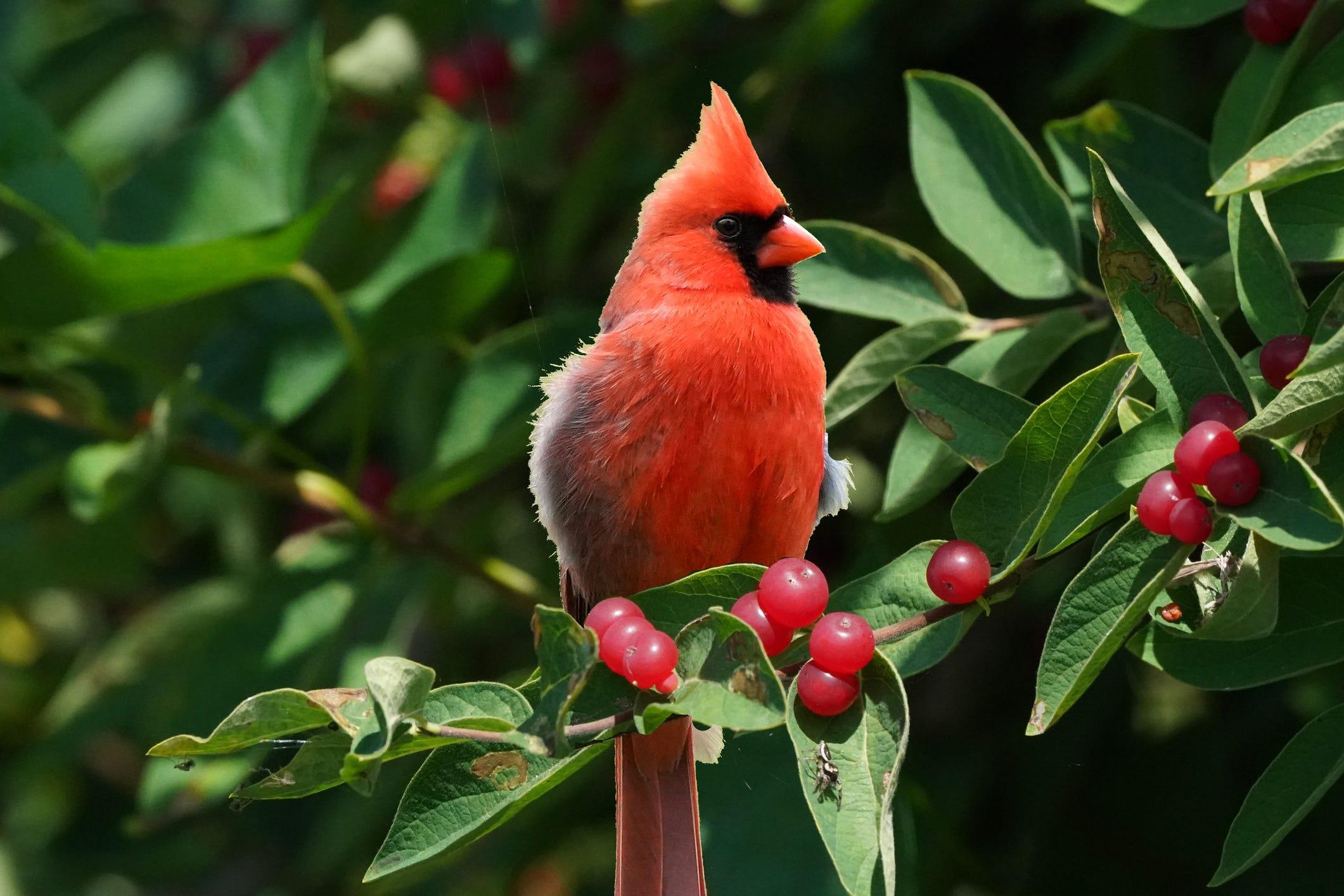 PHOTOS: Birdwatcher captures rare 'one in a million' half red, half white cardinal