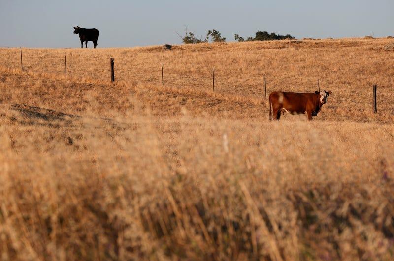 Cows graze on a field of dry grass in Chowchilla, California.