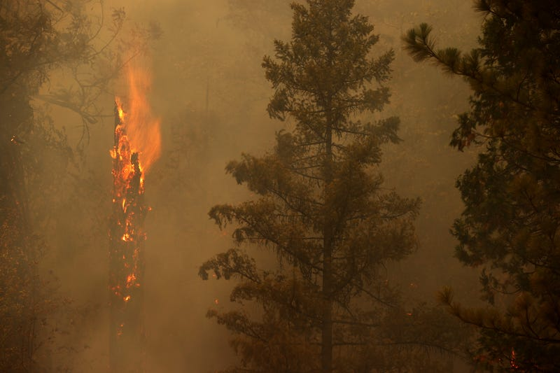 A tree burns as the Dixie Fire moves through the area on July 26, 2021 near Quincy, California