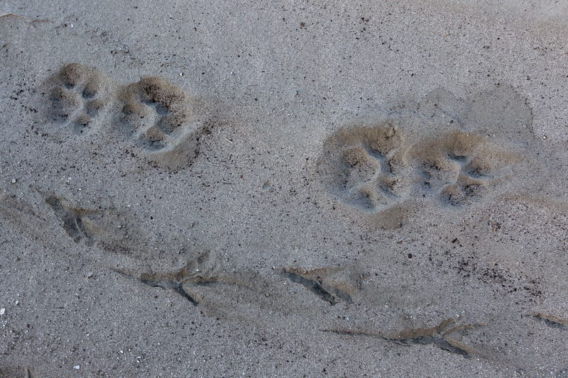 Mountain lion and great blue heron tracks cross the dry upper reaches of San Gabriel Reservoir in the Angeles National Forest on January 22, 2014 in near Azusa, California.