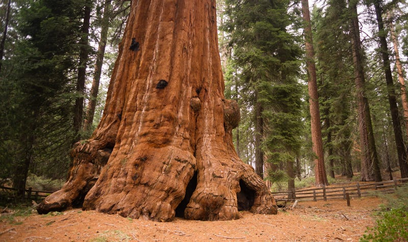 Giant sequoias in Northern California have been wrapped in tin foil to protect against the KNP Complex Fire.